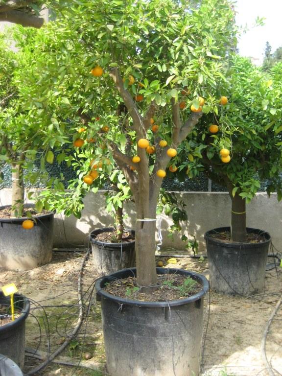 Citricos flor de neu for Arboles frutales en maceta